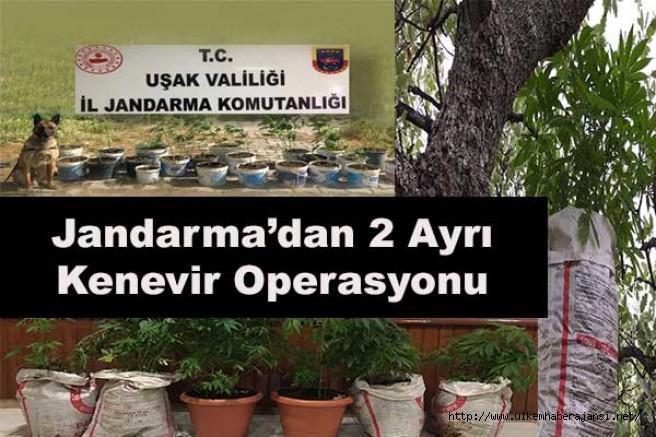 Uşak il Jandarma'dan iki ayrı ''KENEVİR'' operasyonu