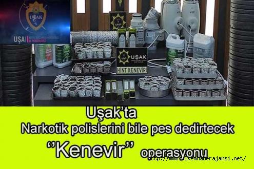 Uşak'ta Narkotik polislerini bile pes dedirtecek  ''Kenevir''  operasyonu